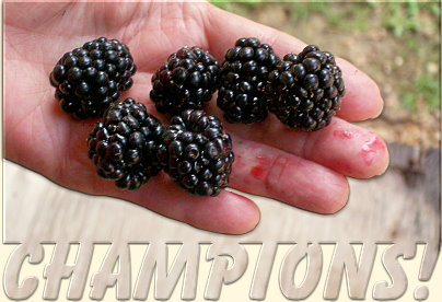 Louise's Thornless Blackberries
